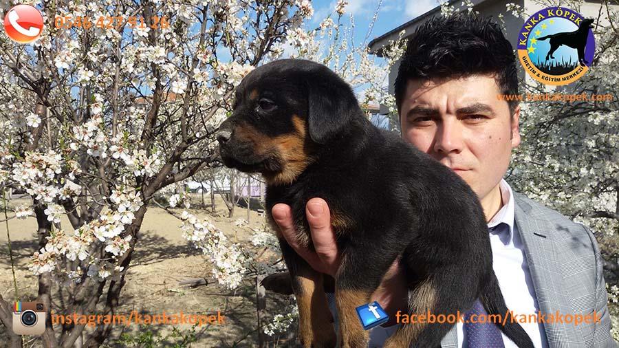 antalya satılık rottweiler