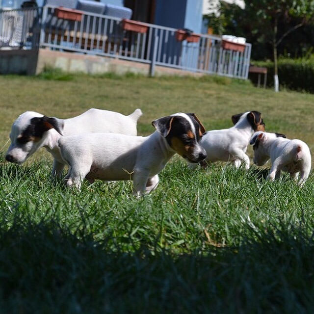 satılık jack russell terrier yavruları 10