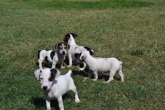 satılık jack russell terrier yavruları 5