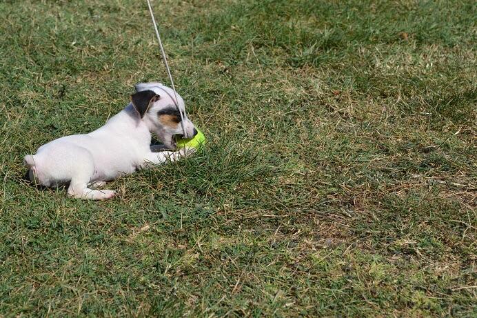 satılık jack russell terrier yavruları 7