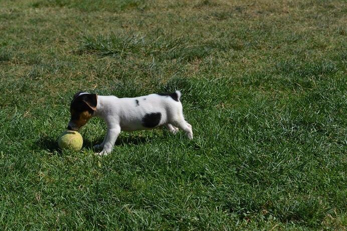 satılık jack russell terrier yavruları 8
