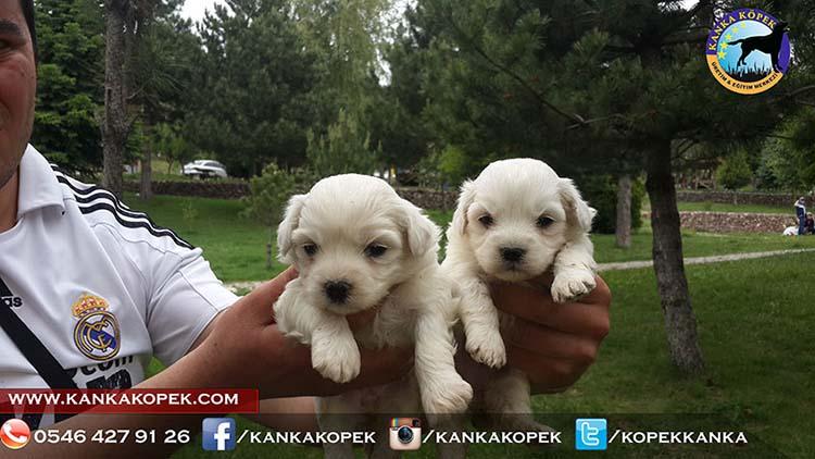 satılık terrier 2