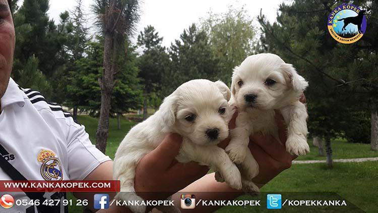 satılık terrier 3