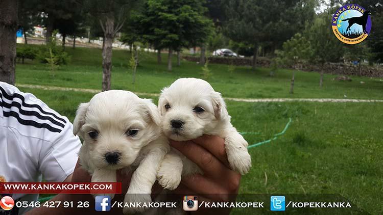 satılık terrier 5