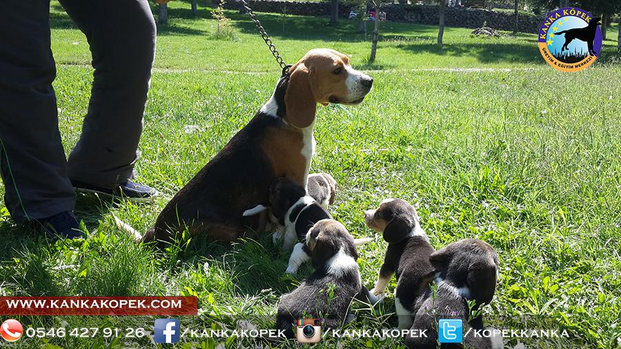 satılık beagle yavruları 24