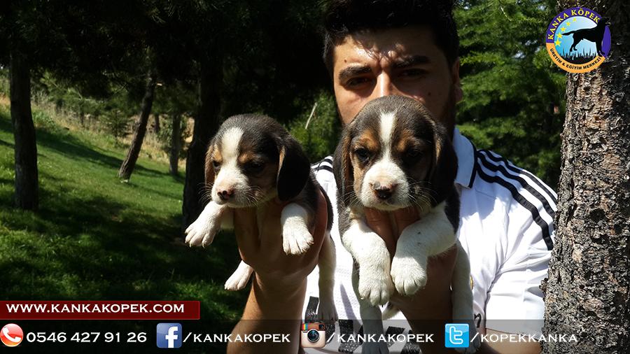 satılık beagle yavruları 4
