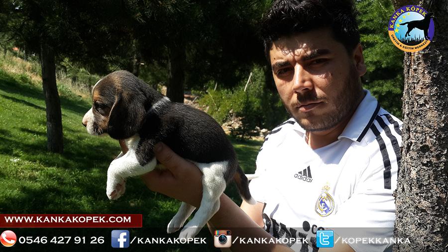 satılık beagle yavruları 6