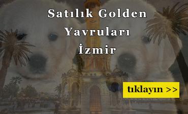 izmir-satilik-golden-yavru