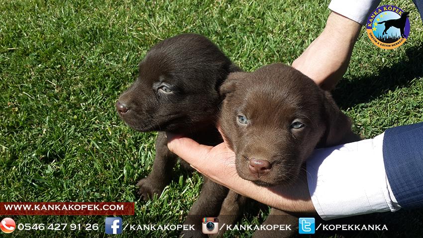 satılık labrador yavruları 17