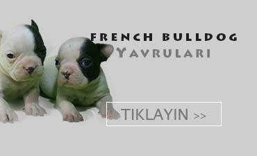 fransız bulldog satılık