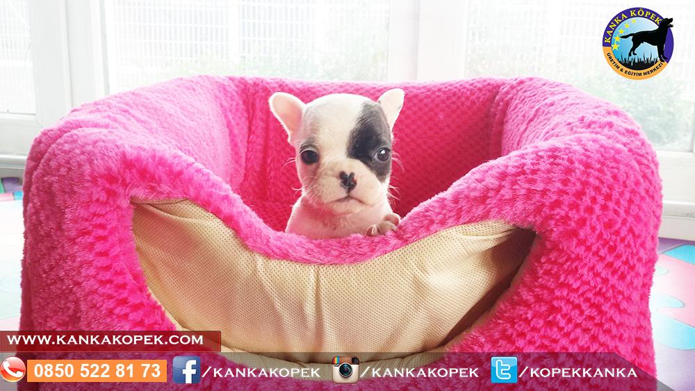 fransız bulldog satılık 2