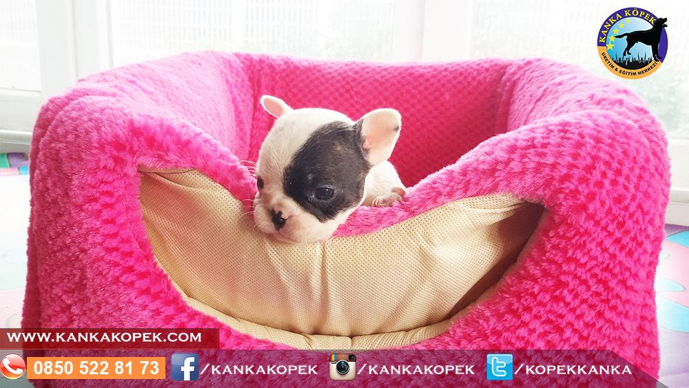 fransız bulldog satılık 3
