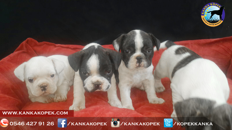 french bulldog yavrusu