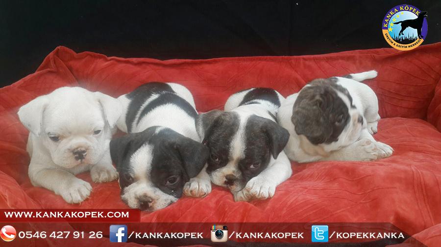 french bulldog yavrusu 2