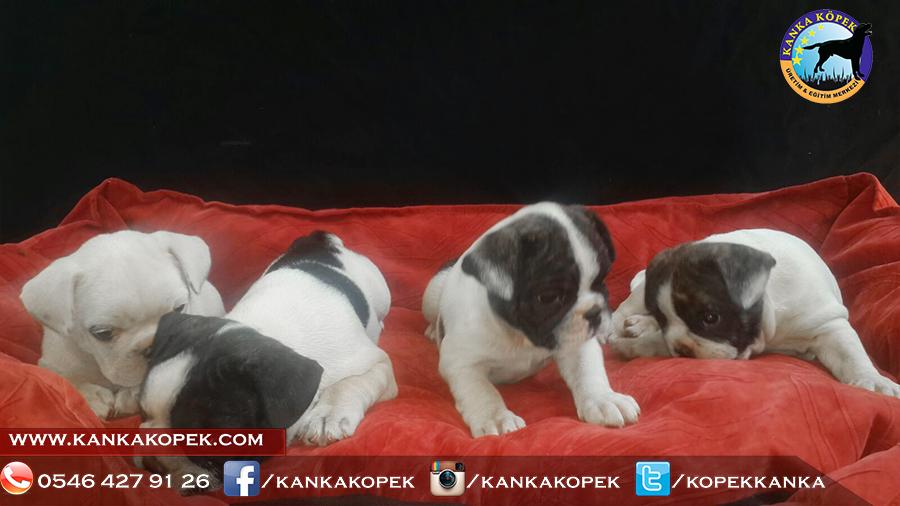french bulldog yavrusu 3
