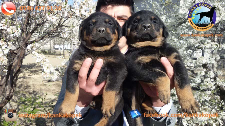 antalya satılık rottweiler 3