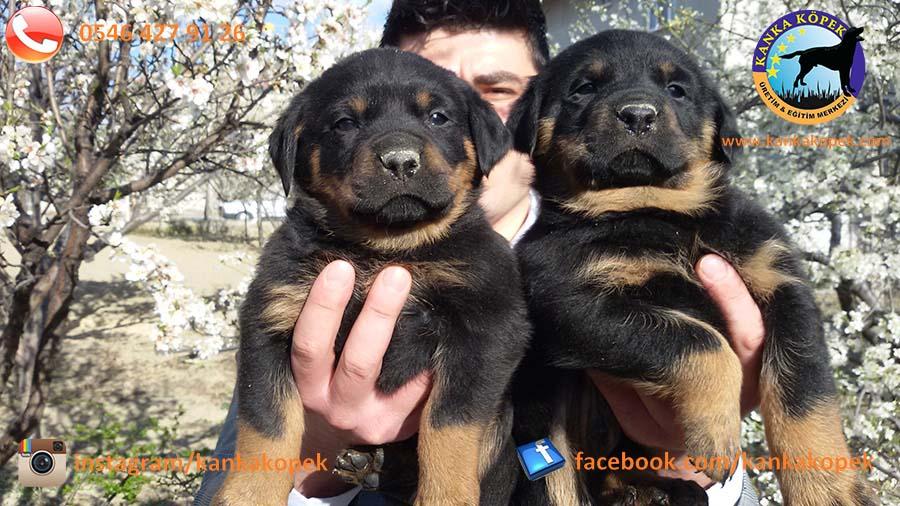 antalya satılık rottweiler 2