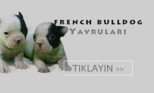 satılık fransız bulldog yavruları
