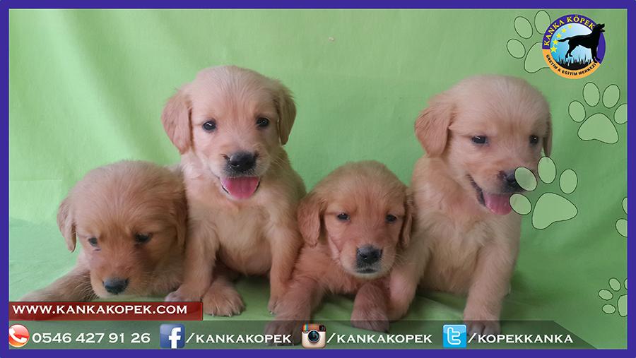 Satılık Golden Ankara Kanka Köpek