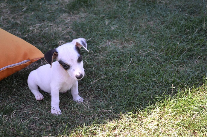 satılık jack russell terrier yavruları 11