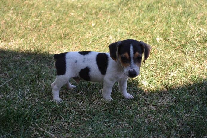 satılık jack russell terrier yavruları 2