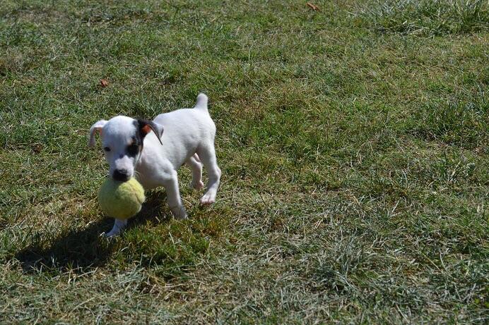 satılık jack russell terrier yavruları 9