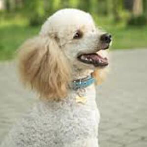 dünyanın en zeki ve en akıllı köpekleri 2
