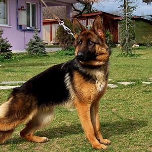 dünyanın en zeki ve akıllı köpekleri 3