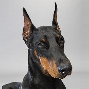 dünyanın en zeki ve akıllı köpekleri 5