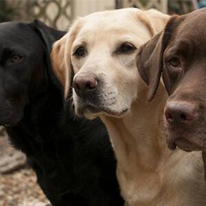 dünyanın en zeki ve en akıllı köpekleri 7