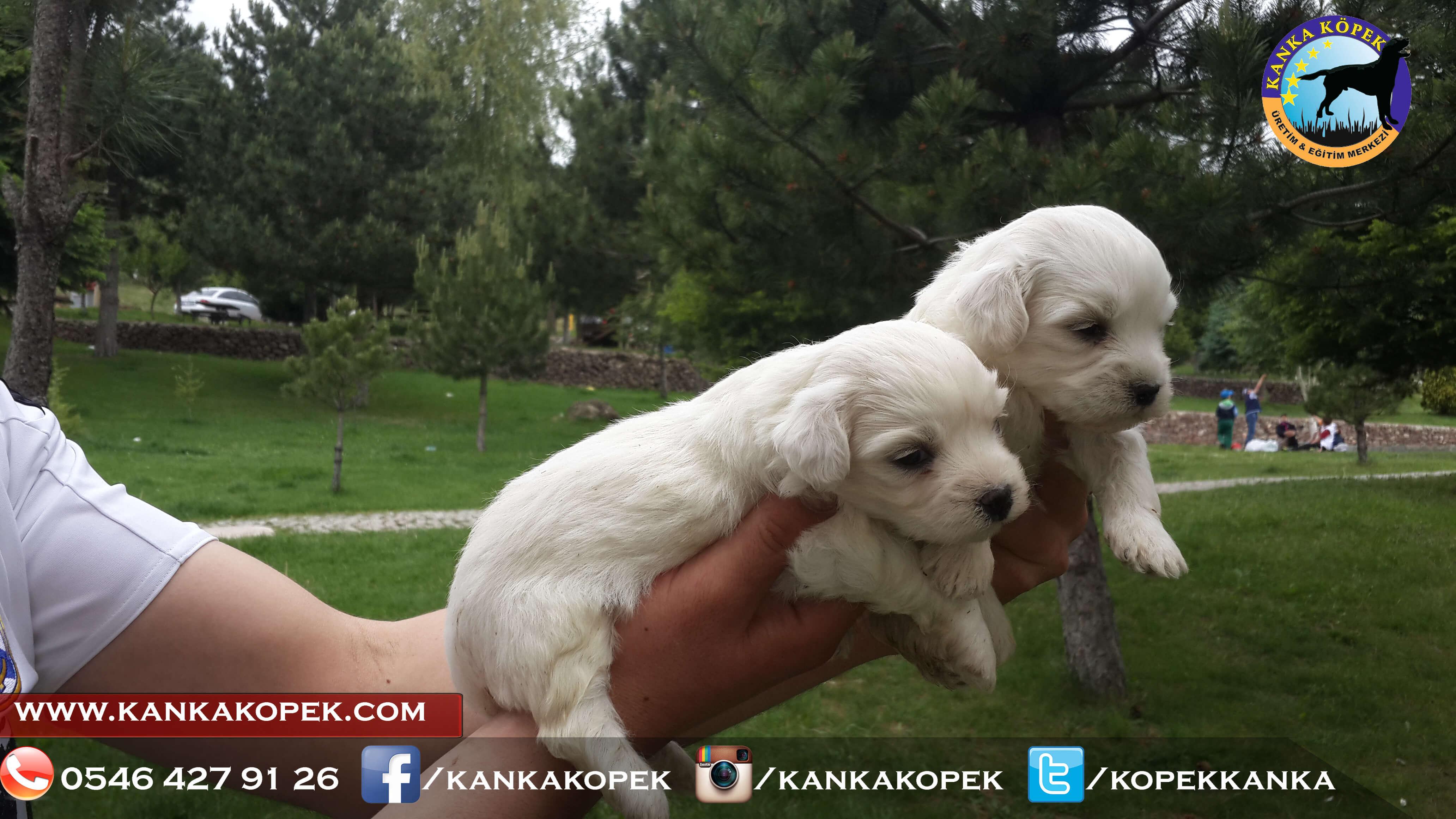 satılık beyaz terrier yavruları