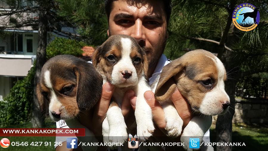 satılık beagle yavruları 14