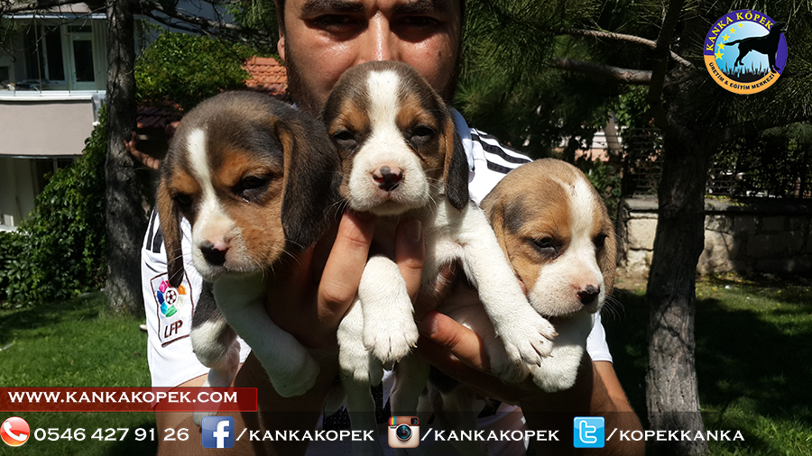 satılık beagle yavruları 15