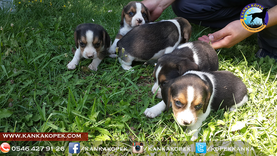 satılık beagle yavruları 2