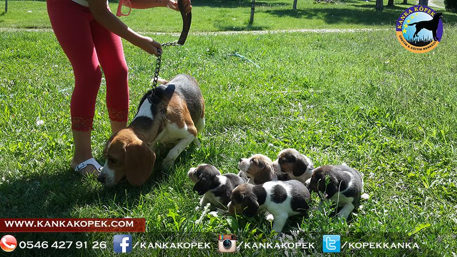satılık beagle yavruları 20