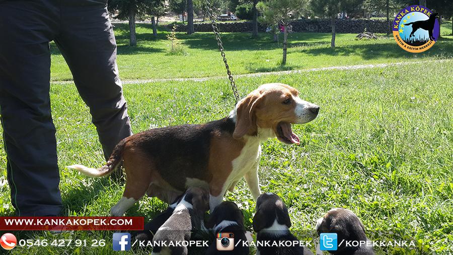 satılık beagle yavruları 22