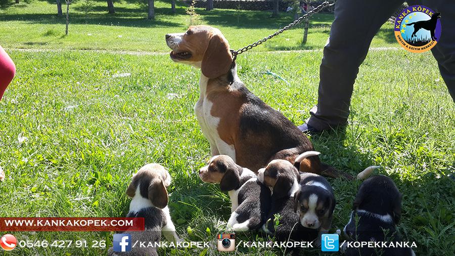 satılık beagle yavruları 23