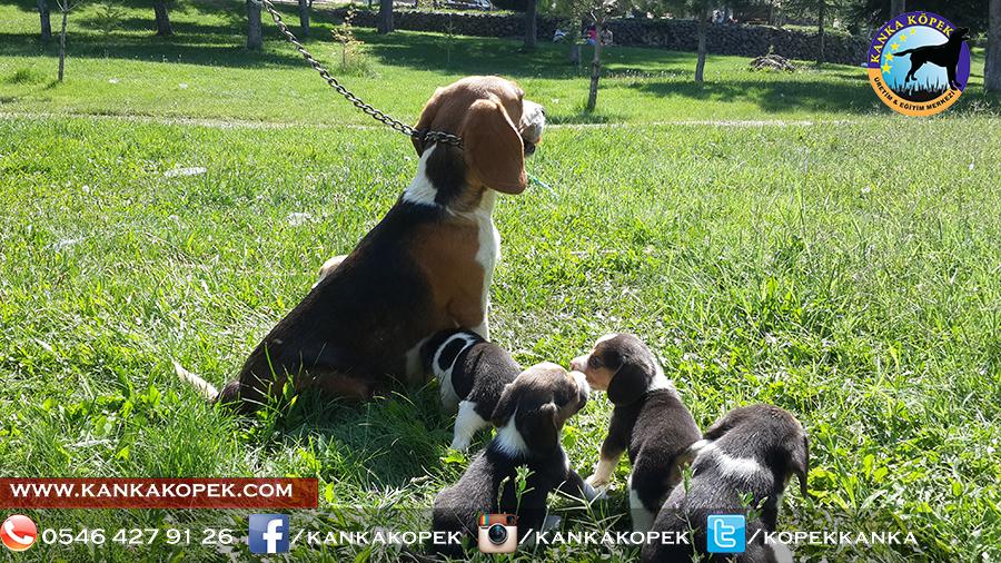 satilik beagle yavrulari 25