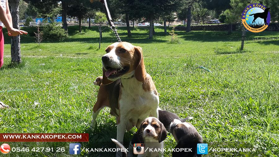 satılık beagle yavruları 27