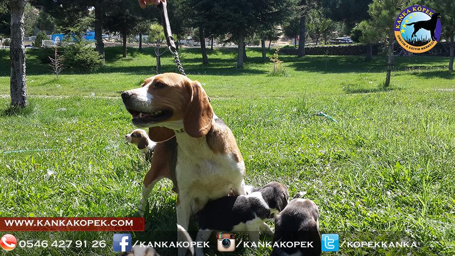satılık beagle yavruları 28