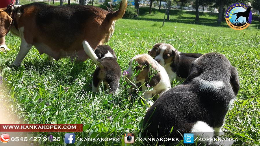 satılık beagle yavruları 30