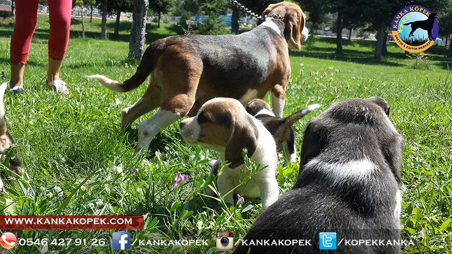 satılık beagle yavruları 33