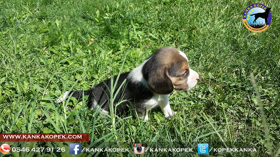 satılık beagle yavruları 37