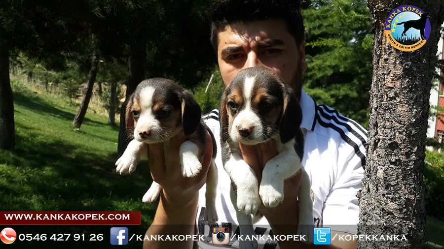 satılık beagle yavruları 5