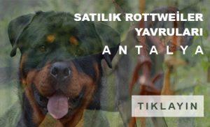 Satılık rottweiler yavruları Antalya