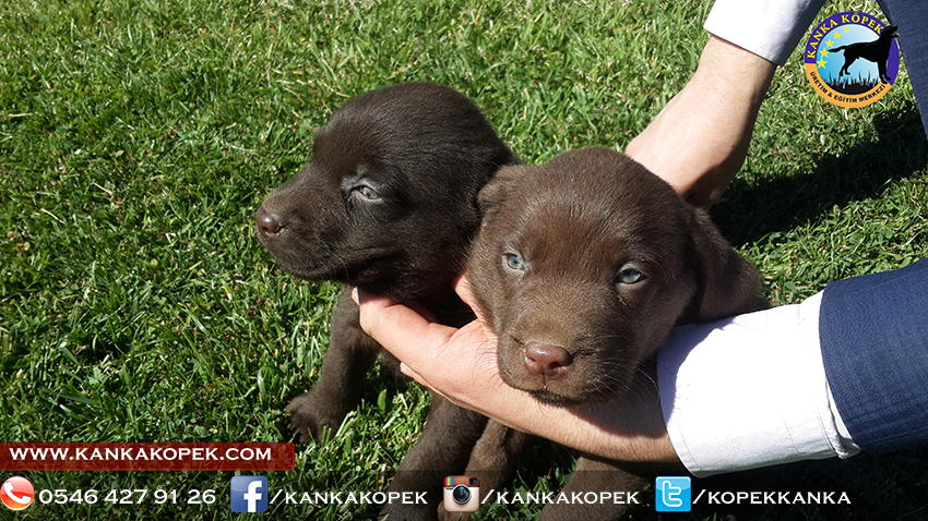 satılık labrador yavruları 13
