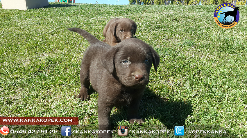 satılık labrador yavruları 16