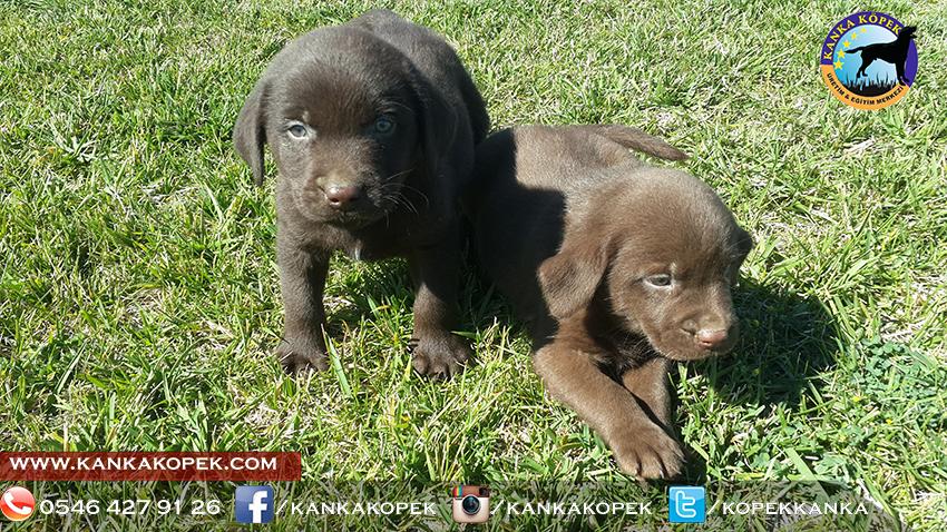 satılık labrador yavruları 18