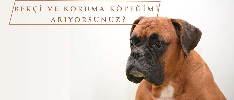 satılık boxer köpek