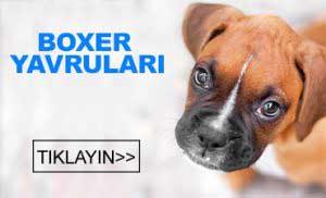 satılık boxer yavruları